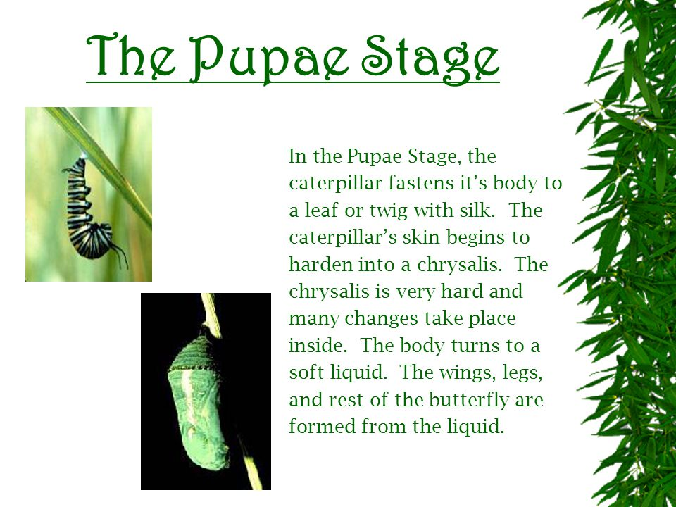 The Larval Stage In the Larval Stage, the eggs hatch and out comes a caterpillar.