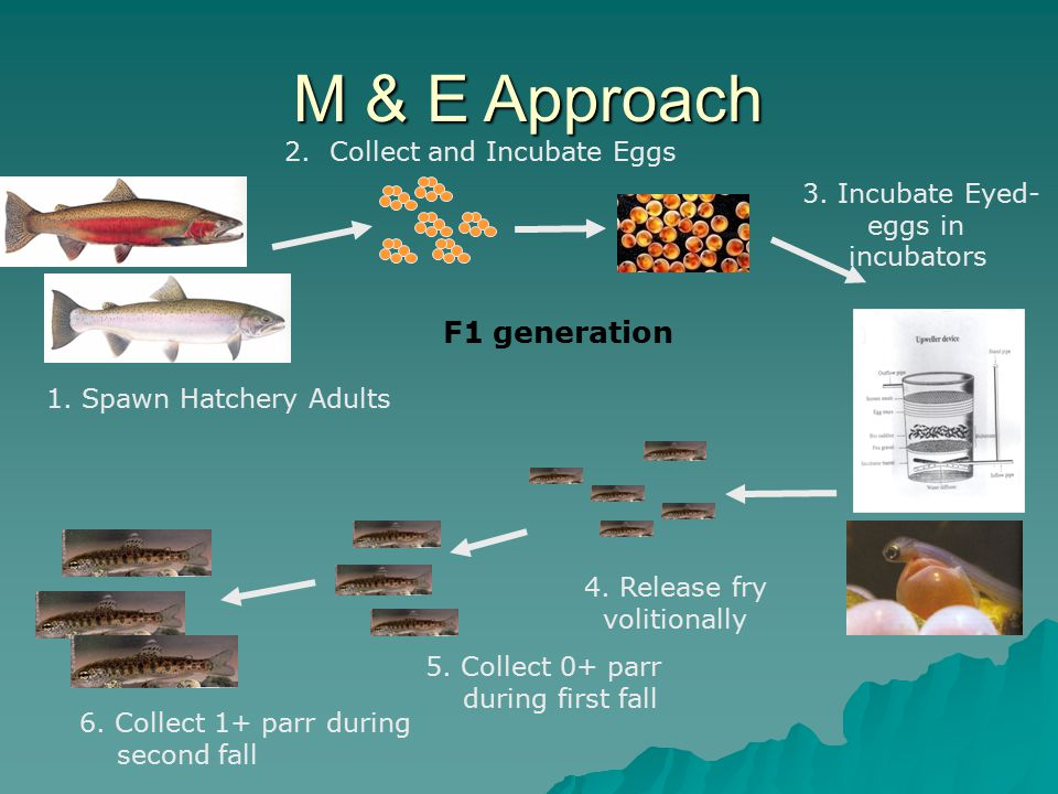 1. Spawn Hatchery Adults M & E Approach 2. Collect and Incubate Eggs F1 generation 3.