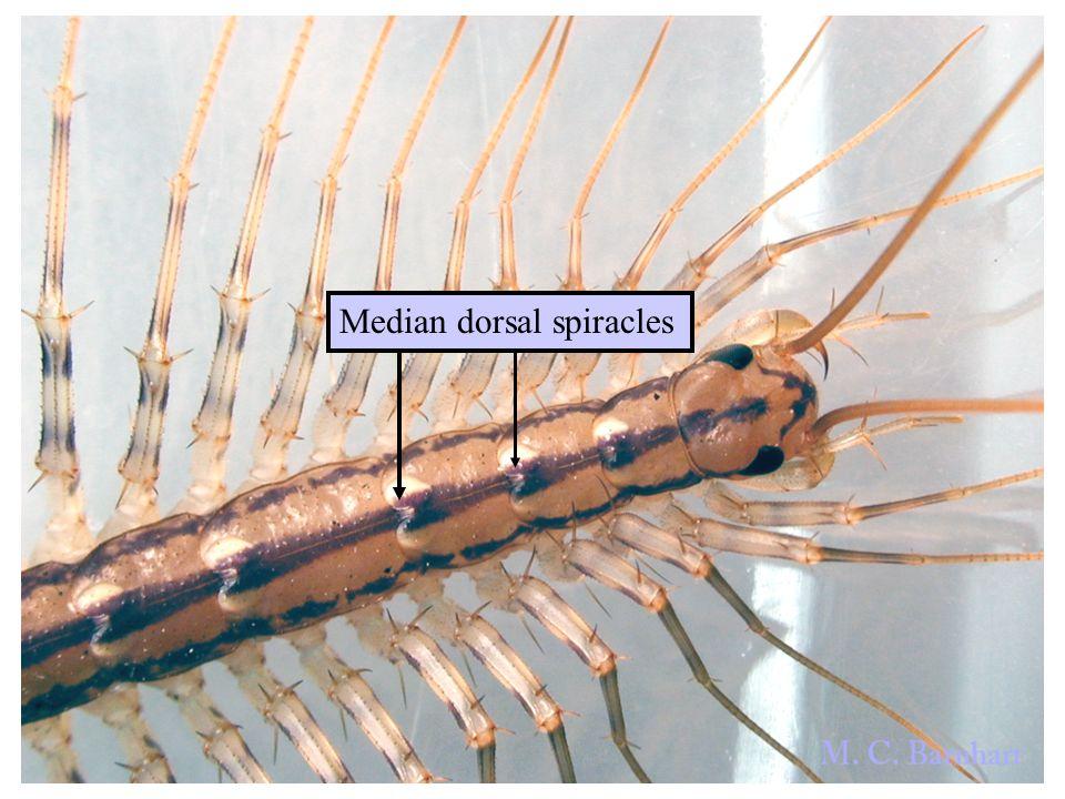 Median dorsal spiracles