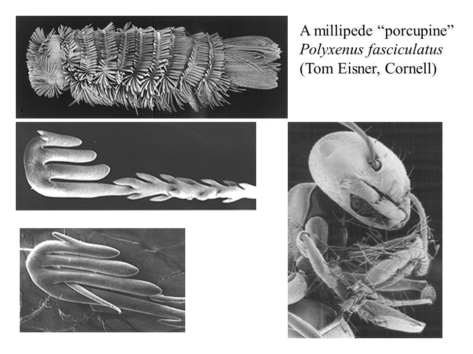 A millipede porcupine Polyxenus fasciculatus (Tom Eisner, Cornell)