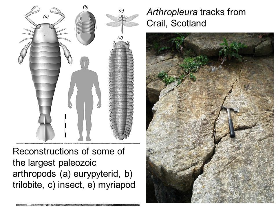 Arthropleura tracks from Crail, Scotland Reconstructions of some of the largest paleozoic arthropods (a) eurypyterid, b) trilobite, c) insect, e) myriapod