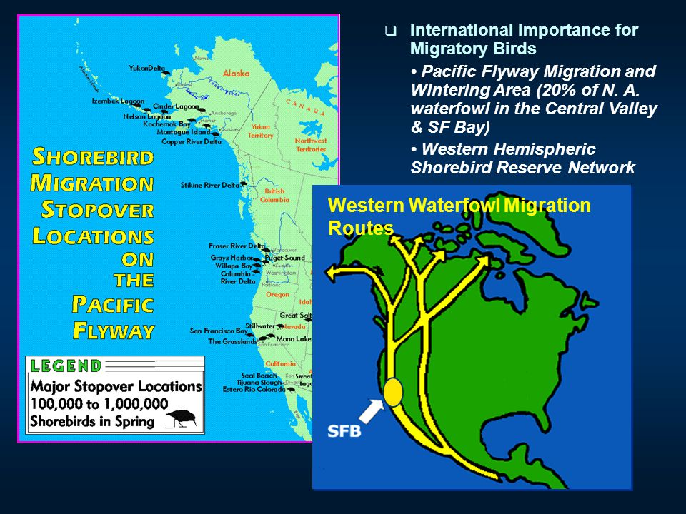  International Importance for Migratory Birds Pacific Flyway Migration and Wintering Area (20% of N. A. waterfowl in the Central Valley & SF Bay) Wes