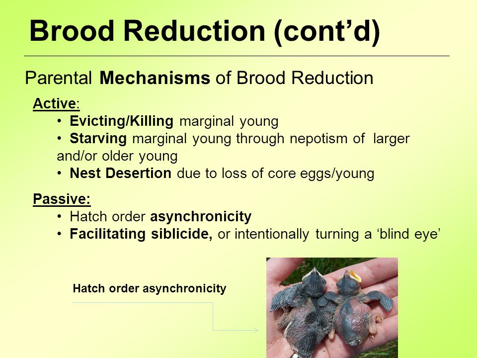 Brood Reduction (cont'd) Parental Mechanisms of Brood Reduction Active: Evicting/Killing marginal young Starving marginal young through nepotism of larger and/or older young Nest Desertion due to loss of core eggs/young Passive: Hatch order asynchronicity Facilitating siblicide, or intentionally turning a 'blind eye' Hatch order asynchronicity