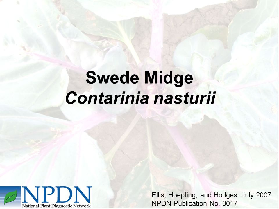 Swede Midge Contarinia nasturii Ellis, Hoepting, and Hodges. July 2007. NPDN Publication No. 0017