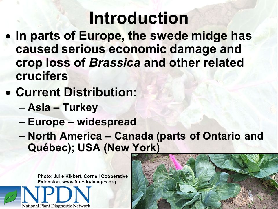Introduction  In parts of Europe, the swede midge has caused serious economic damage and crop loss of Brassica and other related crucifers  Current Distribution: –Asia – Turkey –Europe – widespread –North America – Canada (parts of Ontario and Québec); USA (New York) Photo: Julie Kikkert, Cornell Cooperative Extension, www.forestryimages.org