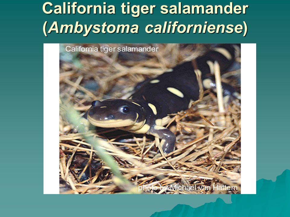 California tiger salamander (Ambystoma californiense)