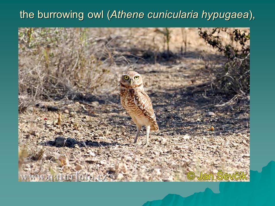 the burrowing owl (Athene cunicularia hypugaea),