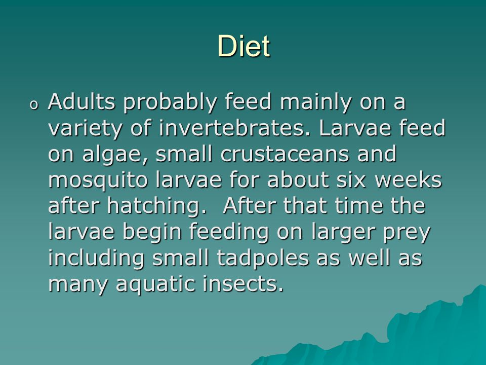 Diet o Adults probably feed mainly on a variety of invertebrates.