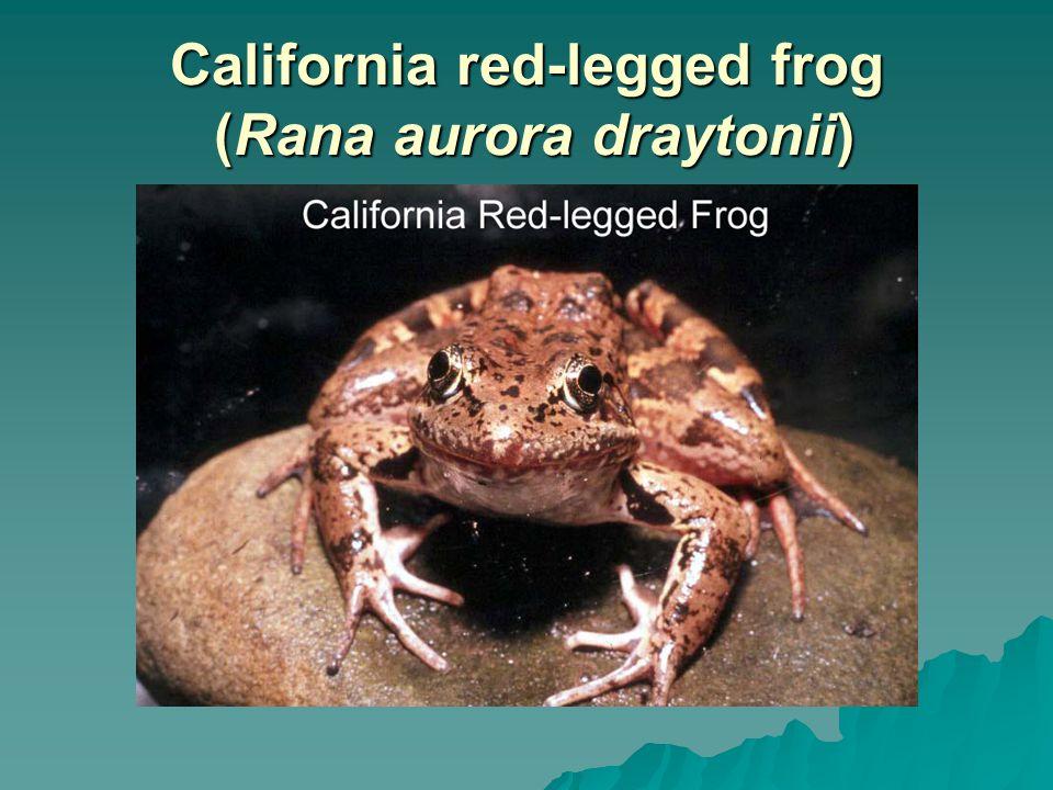 California red-legged frog (Rana aurora draytonii)