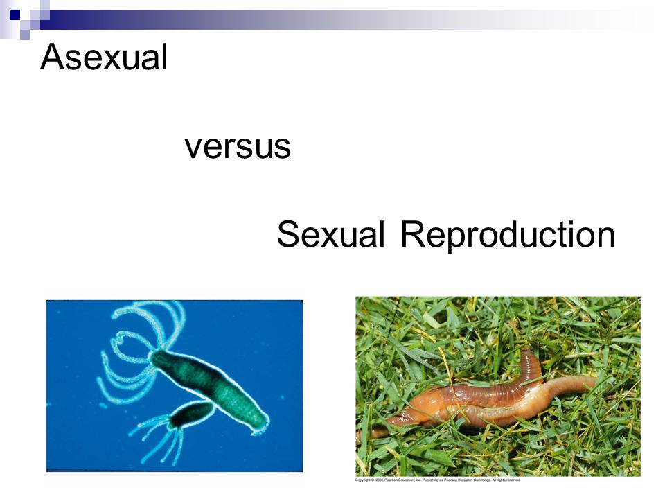 Asexual Reproduction Asexual Reproduction – reproduction that produces individuals who are genetically identical to the parents No sperm and egg fusion  Examples – budding in hydra, fragmentation & regeneration in sea stars, fission in Sea Anemones