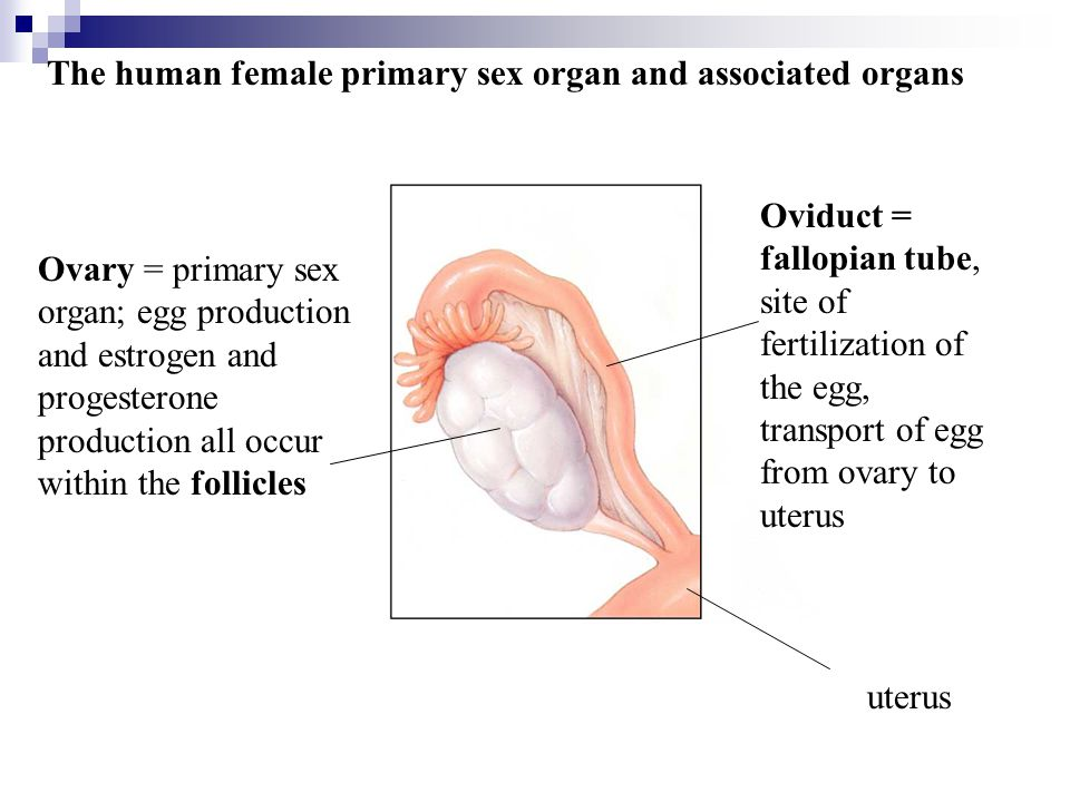 The human female primary sex organ and associated organs Ovary = primary sex organ; egg production and estrogen and progesterone production all occur within the follicles Oviduct = fallopian tube, site of fertilization of the egg, transport of egg from ovary to uterus uterus