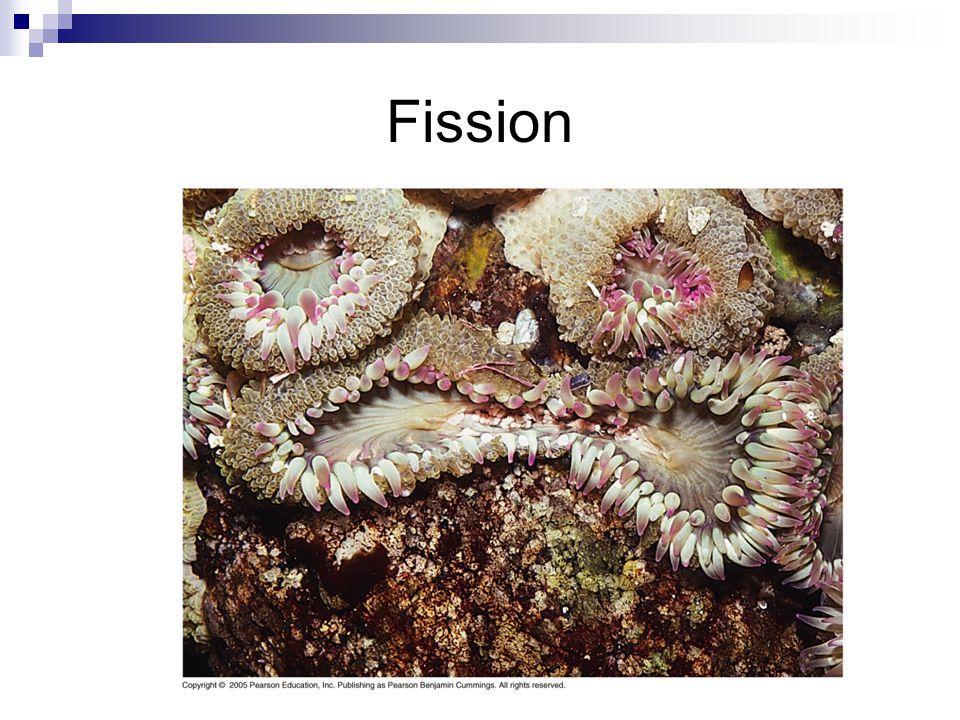 Sea Star Fragmentation Linkia genus
