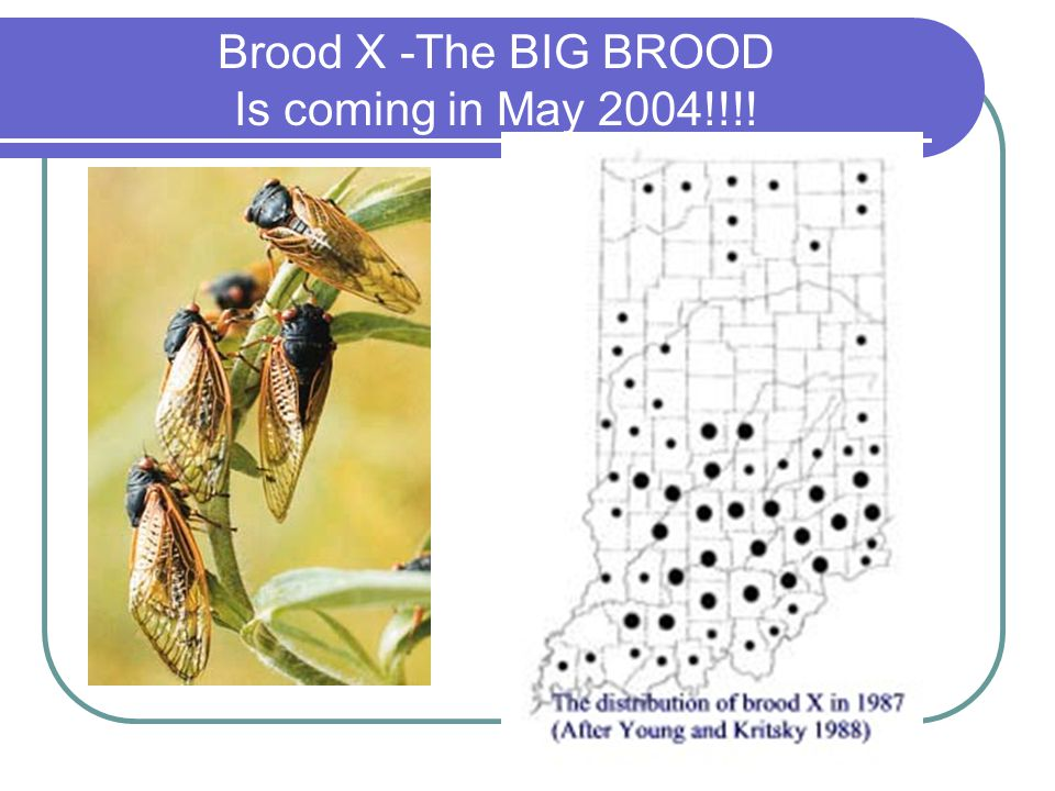 Brood X -The BIG BROOD Is coming in May 2004!!!!
