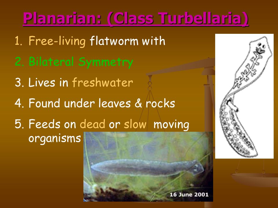 Planarian: (Class Turbellaria) 1.Free-living flatworm with 2.Bilateral Symmetry 3.Lives in freshwater 4.Found under leaves & rocks 5.Feeds on dead or slow moving organisms