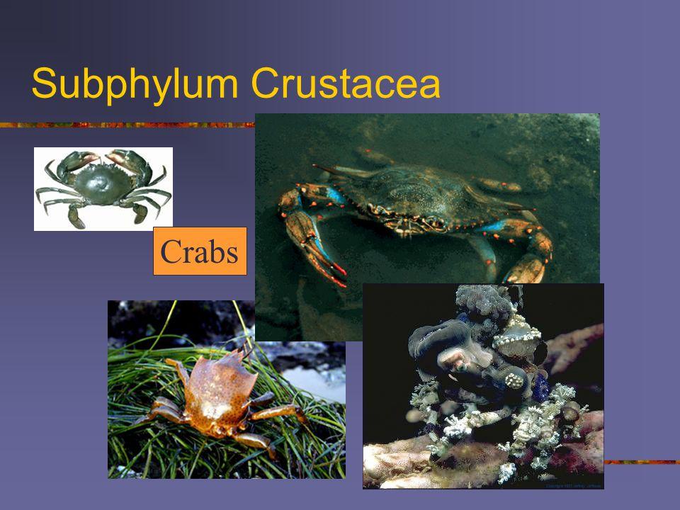 Subphylum Crustacea Crabs