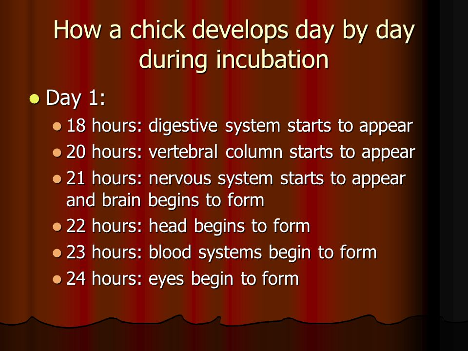 How a chick develops day by day during incubation Day 1: Day 1: 18 hours: digestive system starts to appear 18 hours: digestive system starts to appear 20 hours: vertebral column starts to appear 20 hours: vertebral column starts to appear 21 hours: nervous system starts to appear and brain begins to form 21 hours: nervous system starts to appear and brain begins to form 22 hours: head begins to form 22 hours: head begins to form 23 hours: blood systems begin to form 23 hours: blood systems begin to form 24 hours: eyes begin to form 24 hours: eyes begin to form