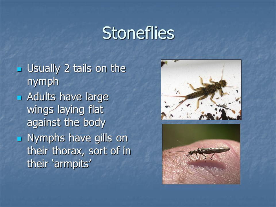 …more stoneflies
