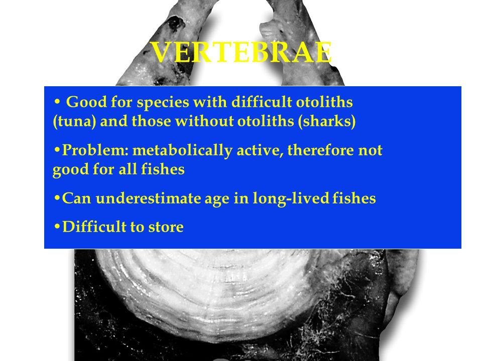 VERTEBRAE Good for species with difficult otoliths (tuna) and those without otoliths (sharks) Problem: metabolically active, therefore not good for all fishes Can underestimate age in long-lived fishes Difficult to store