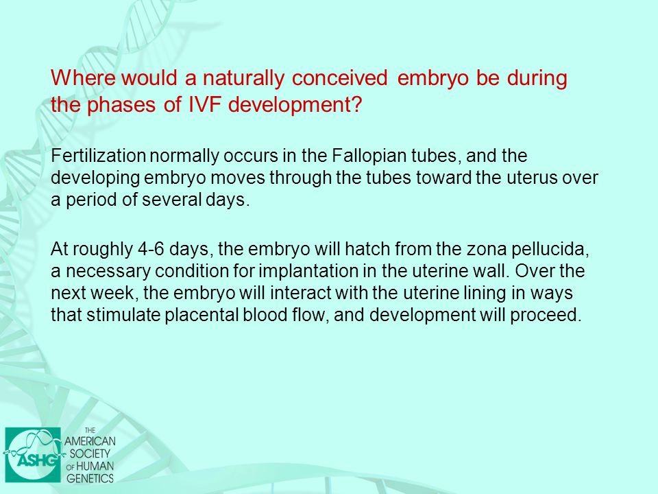 Where would a naturally conceived embryo be during the phases of IVF development.