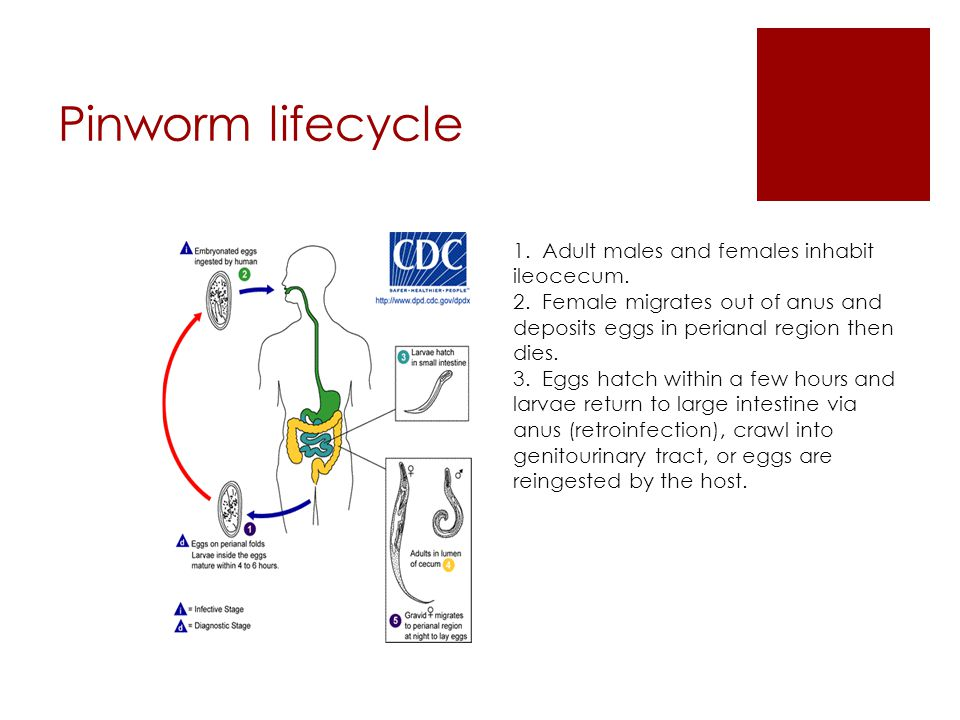 Pinworm lifecycle 1. Adult males and females inhabit ileocecum. 2. Female migrates out of anus and deposits eggs in perianal region then dies. 3. Eggs