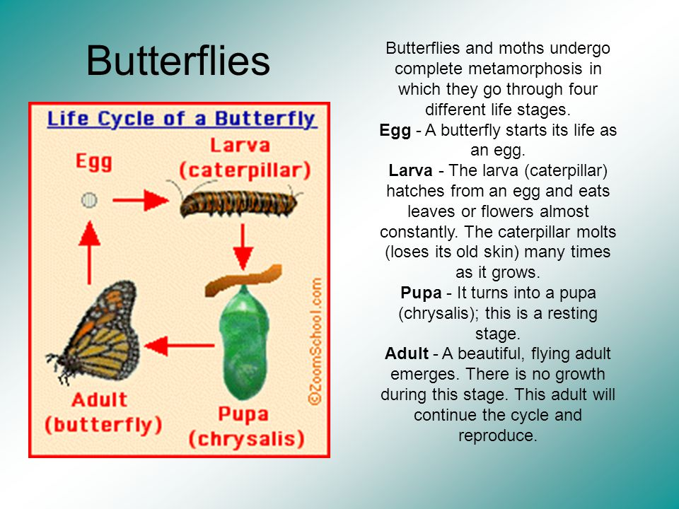 Butterflies Butterflies and moths undergo complete metamorphosis in which they go through four different life stages. Egg - A butterfly starts its lif