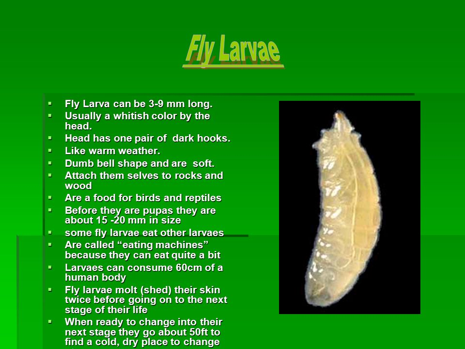  Goes underground when changing into an adult fly  About 8mm long while in pupa stage  Can be yellow, red, brown or black  While changing into a adult fly.