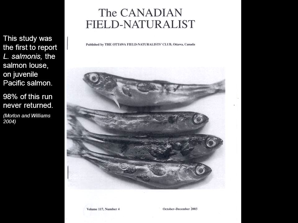 This study was the first to report L.salmonis, the salmon louse, on juvenile Pacific salmon.