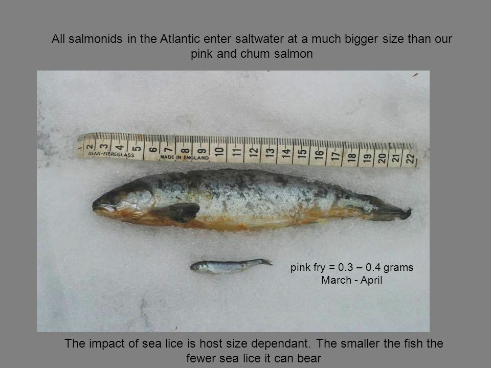 All salmonids in the Atlantic enter saltwater at a much bigger size than our pink and chum salmon The impact of sea lice is host size dependant.