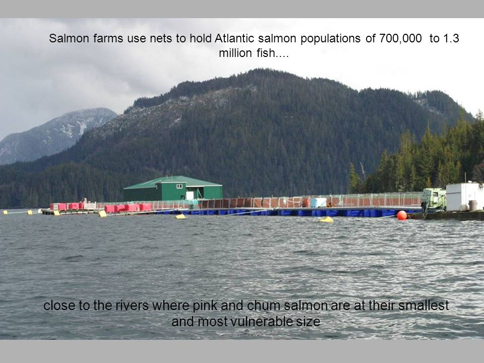 Salmon farms use nets to hold Atlantic salmon populations of 700,000 to 1.3 million fish....