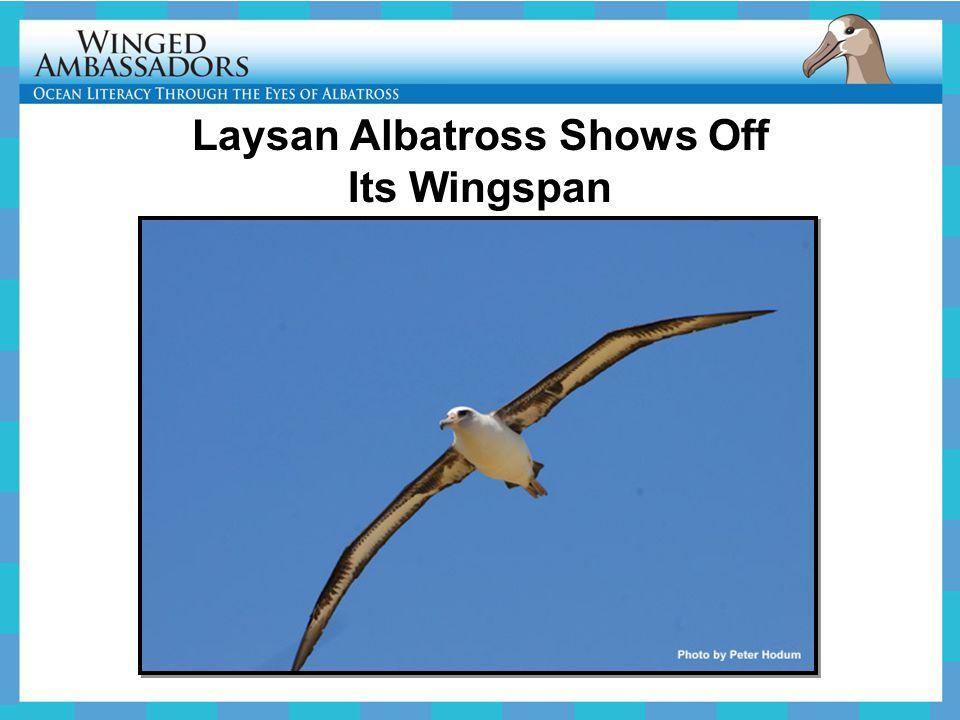 Laysan Albatross Shows Off Its Wingspan
