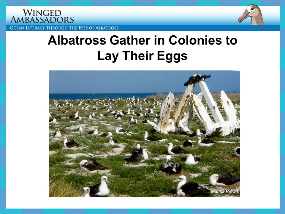 Albatross Gather in Colonies to Lay Their Eggs