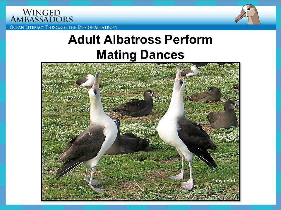 Adult Albatross Perform Mating Dances