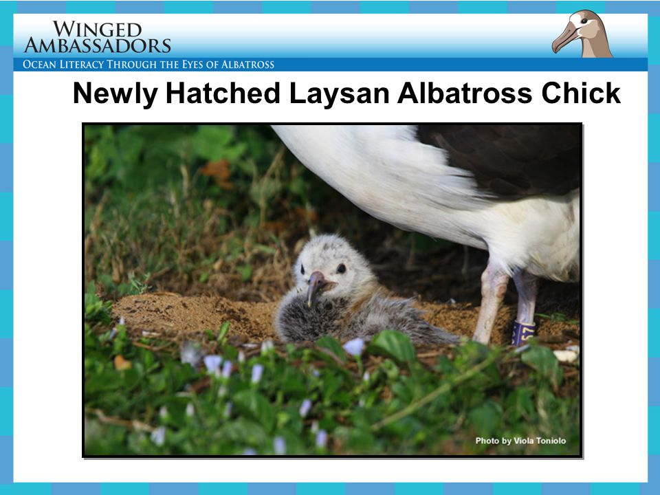 Newly Hatched Laysan Albatross Chick