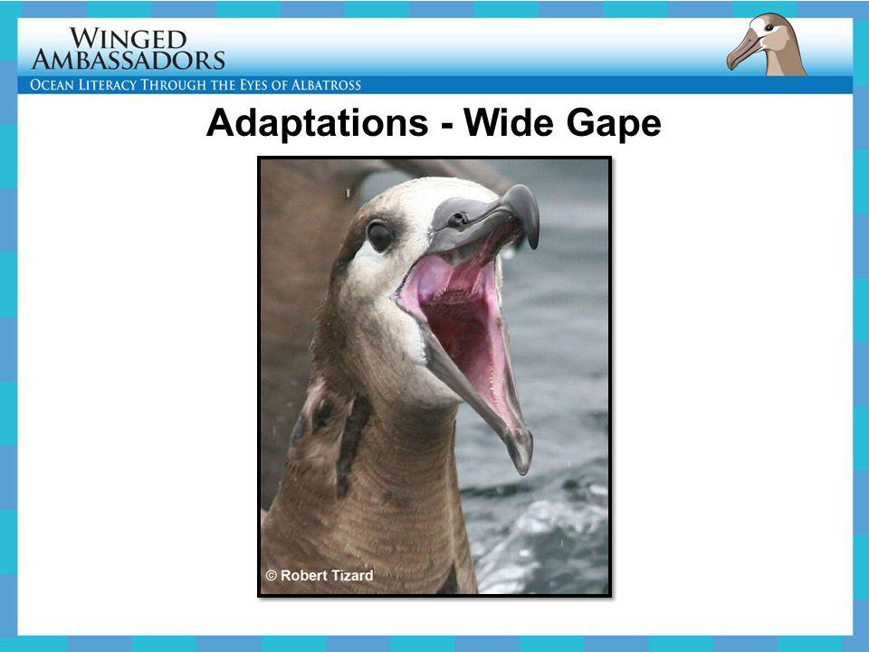 Adaptations - Wide Gape