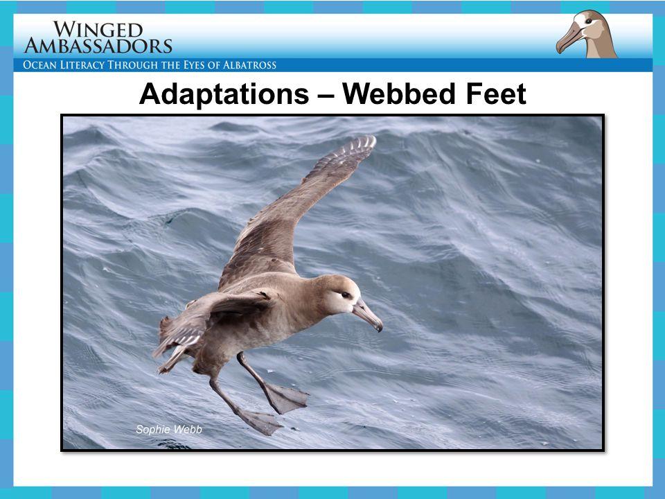 Adaptations – Webbed Feet