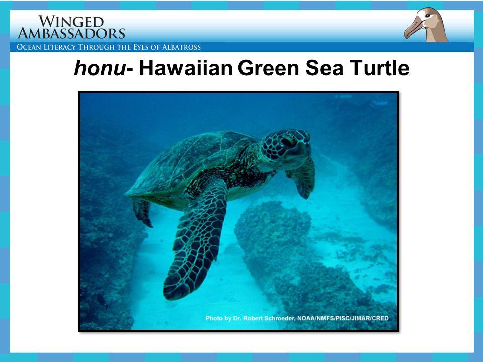 honu- Hawaiian Green Sea Turtle