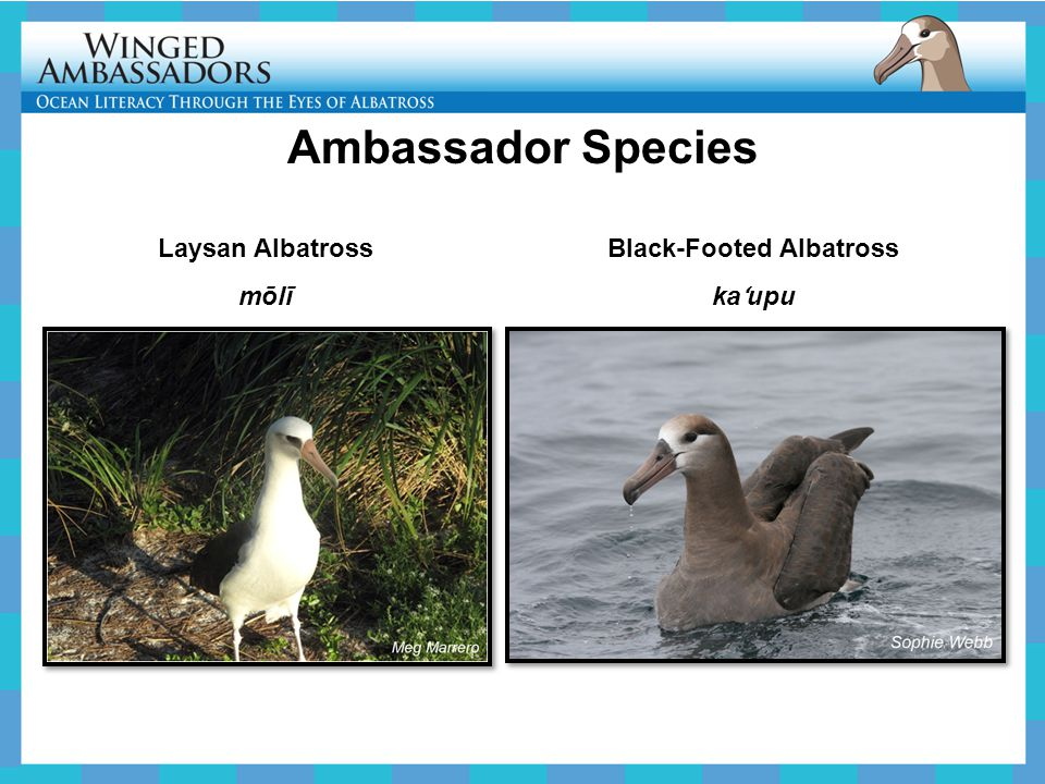 Ambassador Species Laysan Albatross mōlī Black-Footed Albatross ka ʻ upu