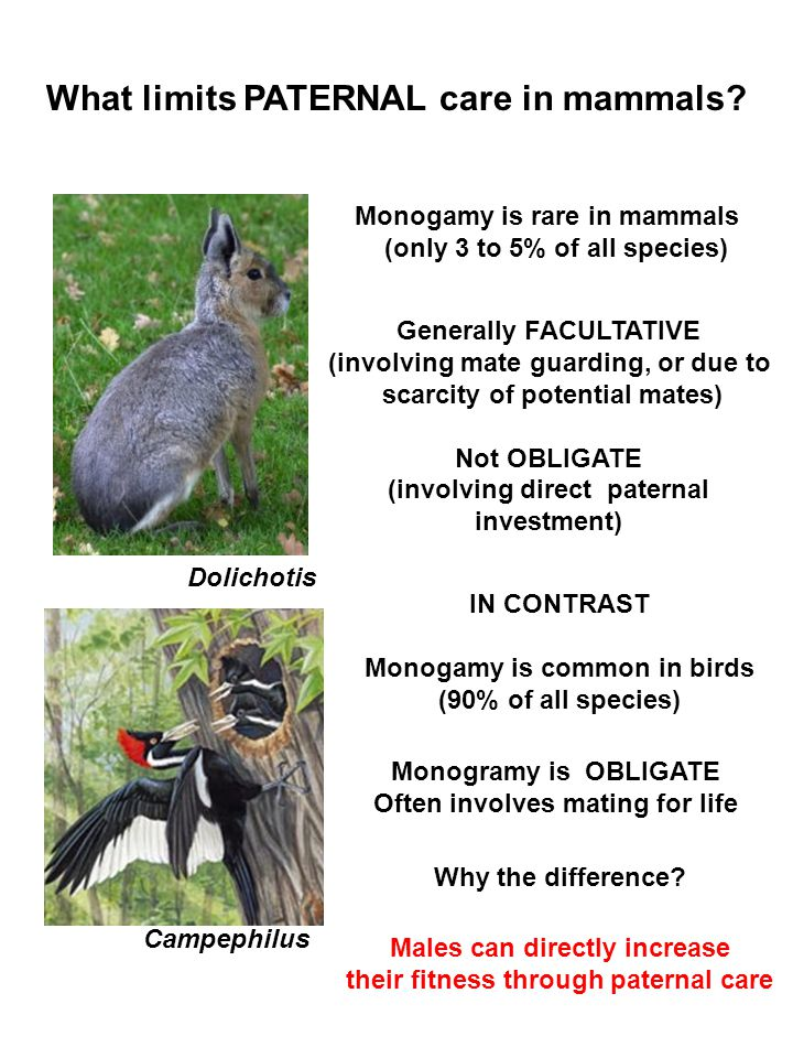 What limits PATERNAL care in mammals? Monogamy is rare in mammals (only 3 to 5% of all species) Dolichotis Monogramy is OBLIGATE Often involves mating