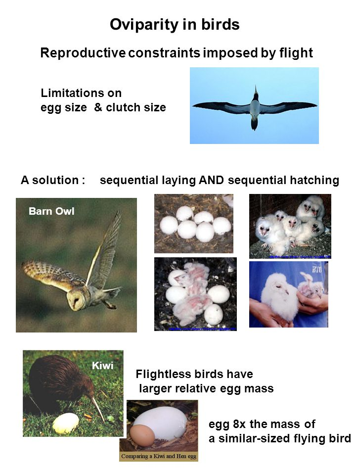 Oviparity in birds Reproductive constraints imposed by flight Limitations on egg size & clutch size A solution : Barn Owl egg 8x the mass of a similar