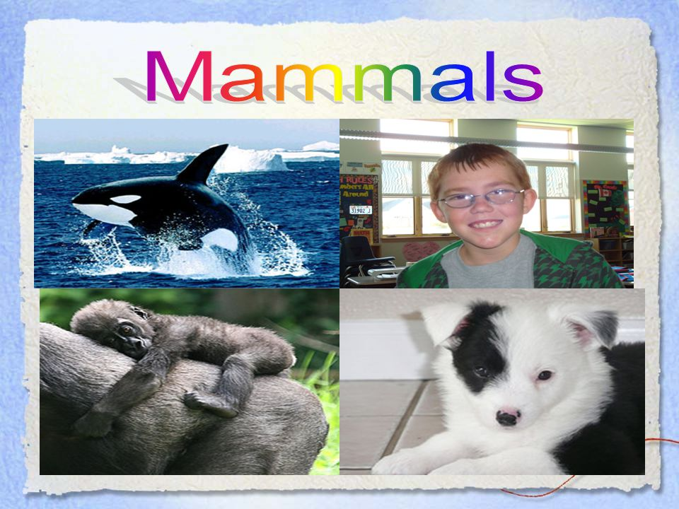 Mammals Characteristics of Mammals: 1. Warm-blooded, meaning they make their own heat. 2. Have hair on their bodies. 3. Breathe with lungs. 4. Baby ma