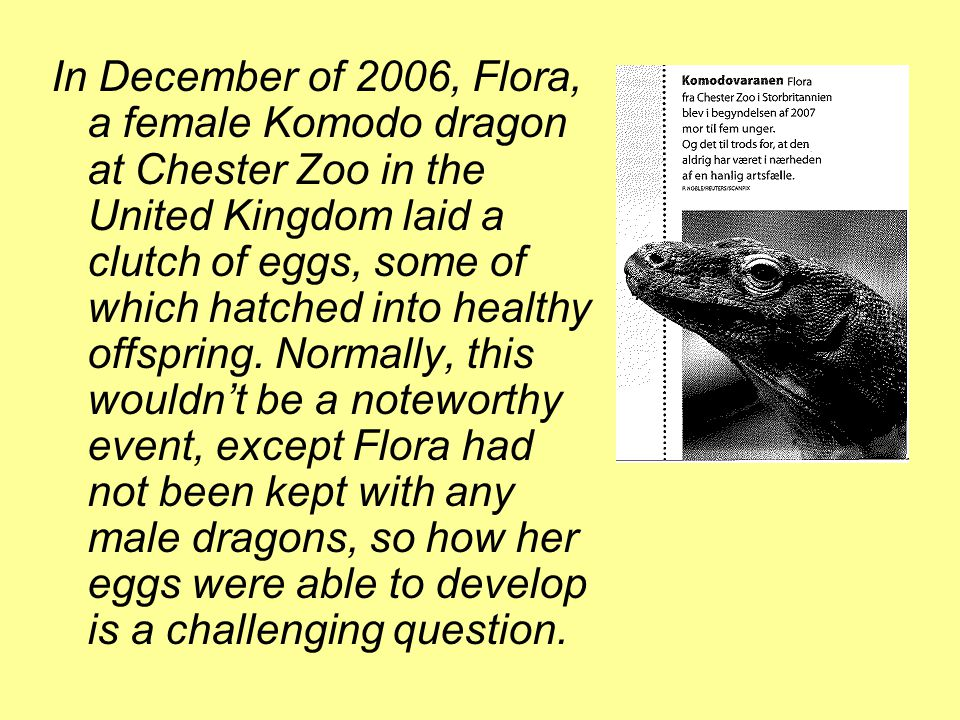In December of 2006, Flora, a female Komodo dragon at Chester Zoo in the United Kingdom laid a clutch of eggs, some of which hatched into healthy offspring.