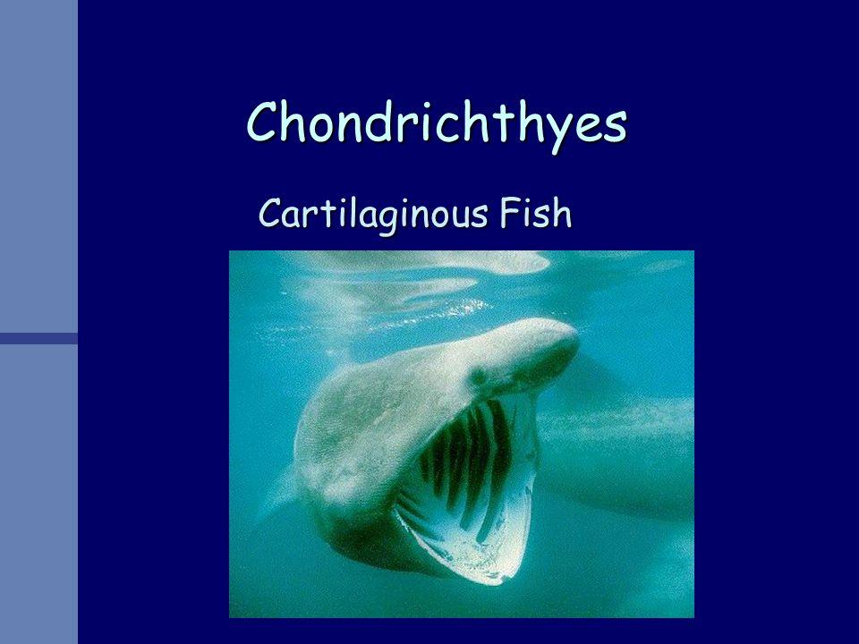 Chondrichthyes Cartilaginous Fish
