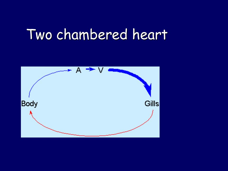 Two chambered heart