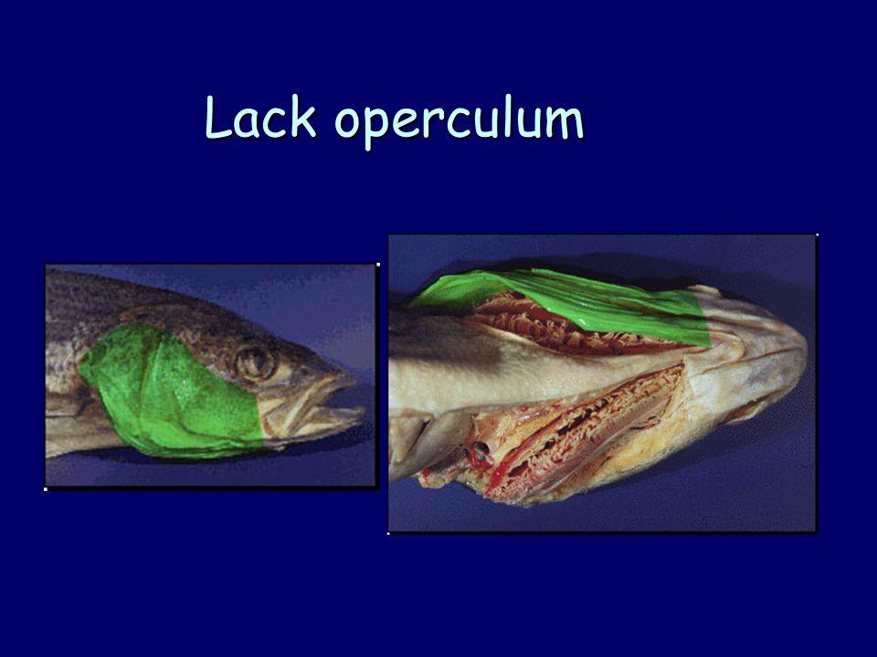 Lack operculum