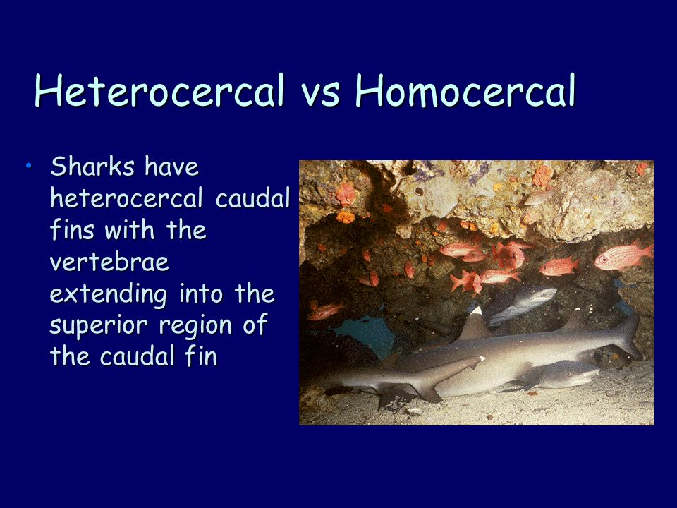 Heterocercal vs Homocercal Sharks have heterocercal caudal fins with the vertebrae extending into the superior region of the caudal finSharks have heterocercal caudal fins with the vertebrae extending into the superior region of the caudal fin