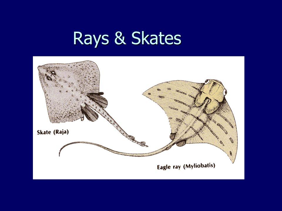 Rays & Skates