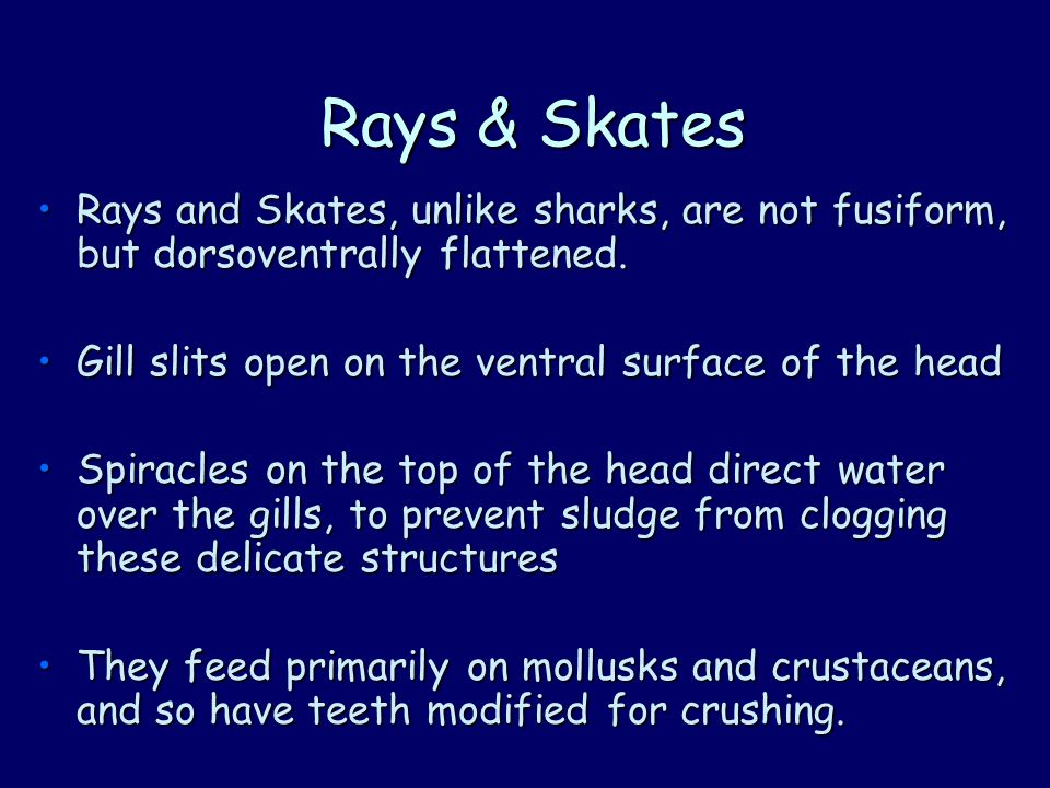 Rays and Skates, unlike sharks, are not fusiform, but dorsoventrally flattened.Rays and Skates, unlike sharks, are not fusiform, but dorsoventrally flattened.