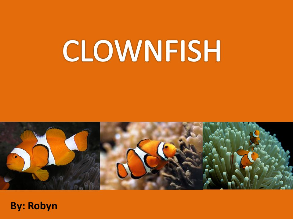 The clownfish is a brightly colored omnivorous fish found in the Pacific and Indian Oceans.