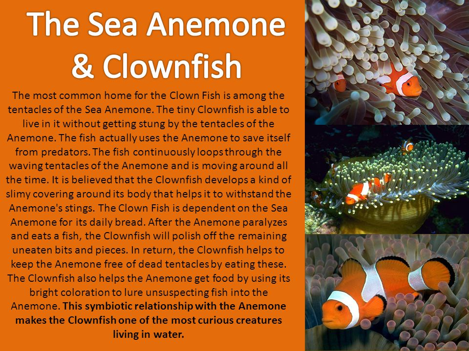 The most common home for the Clown Fish is among the tentacles of the Sea Anemone. The tiny Clownfish is able to live in it without getting stung by t