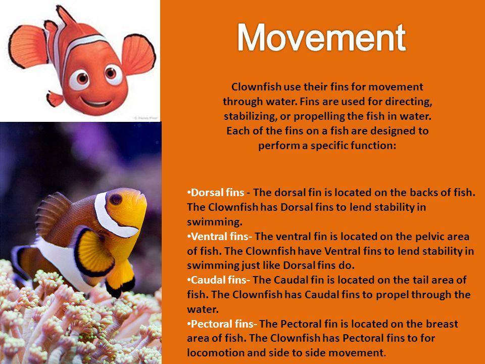 Scientific Name: Amphiprion percula Kingdom :Animalia Phylum :Chordata Class :Actinopterygii Order :Perciformes Family :Pomacentridae Genus :Amphiprion Species :Amphiprion percula